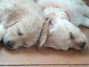 Продам прекрасных щенков голден ретривера - Изображение #2, Объявление #962134