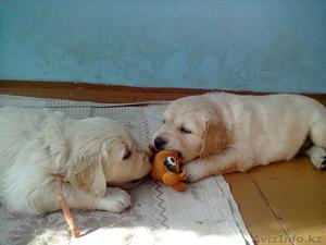 Продам прекрасных щенков голден ретривера - Изображение #3, Объявление #962134