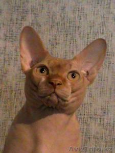 Лапушки котятушки Канадского сфинкса - Изображение #3, Объявление #1006392