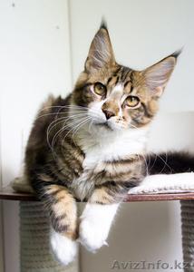 Котята мейн кун из профессионального питомника Mainemarie - Изображение #1, Объявление #1280457