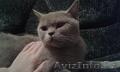 Продам красивых британских котят